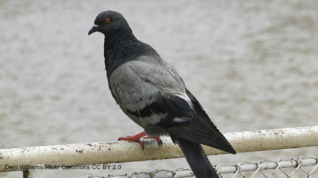 Pigeon_150227
