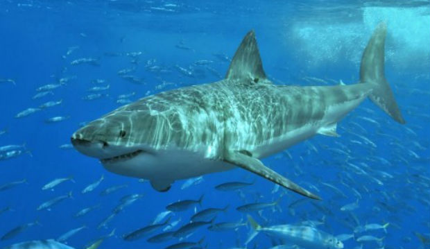 Great white shark_217468