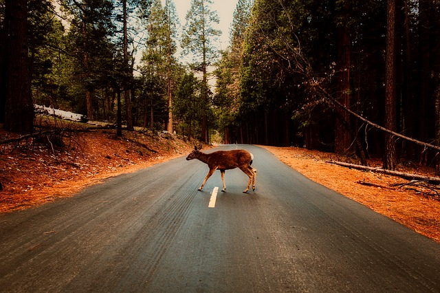 deer crossing the road generic pixabay_503542