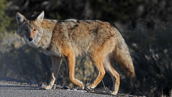 coyote_280970