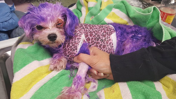 Dog named \'Violet\' almost dies from burns caused by hair dye