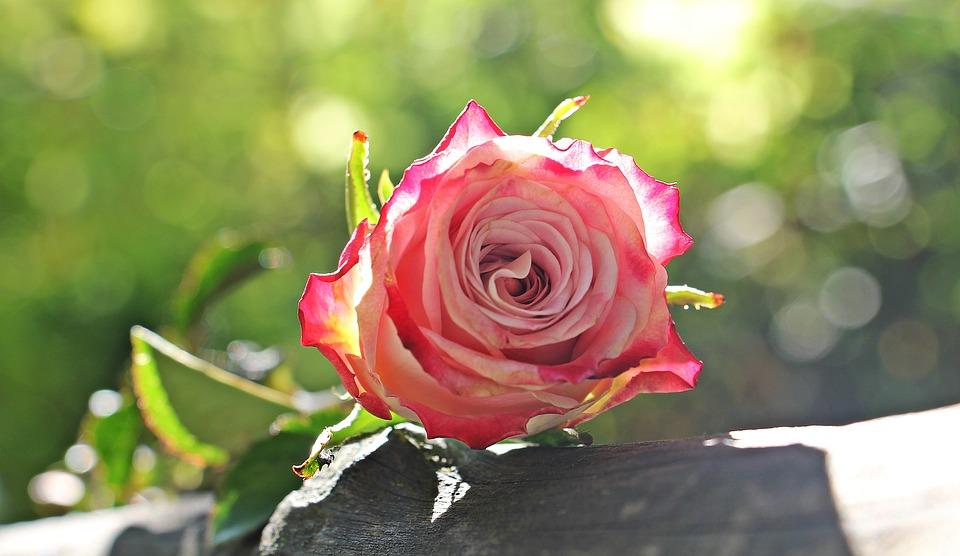 rose-1868585_960_720_249933