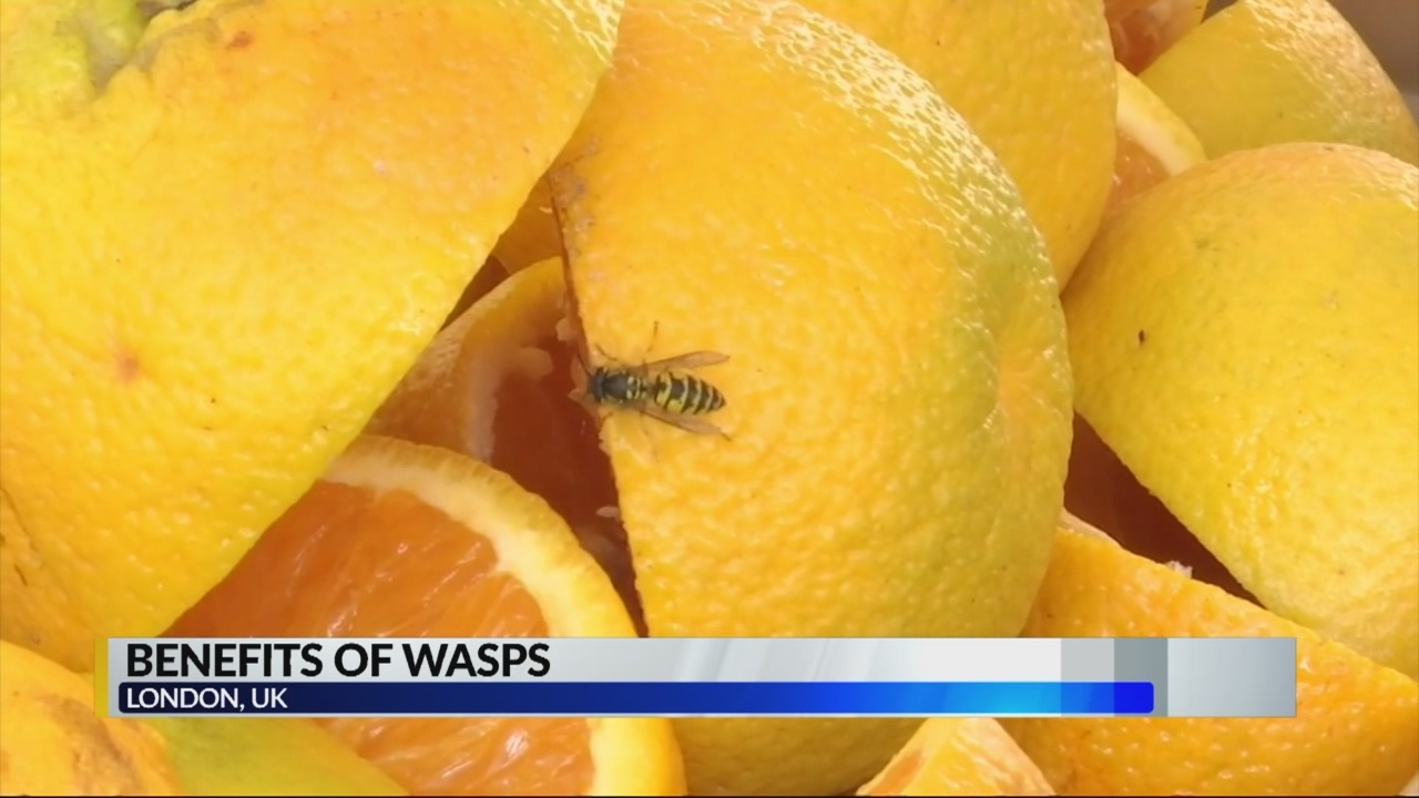 Benefits of wasps