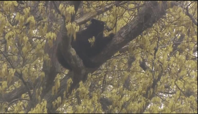 bear in tree3_1558106464343.PNG.jpg