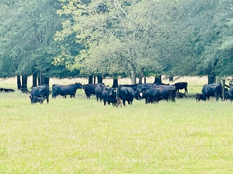 Watch Alabama cattle farmers say elevated costs for beef isn't going of their pockets – Google Alabama News
