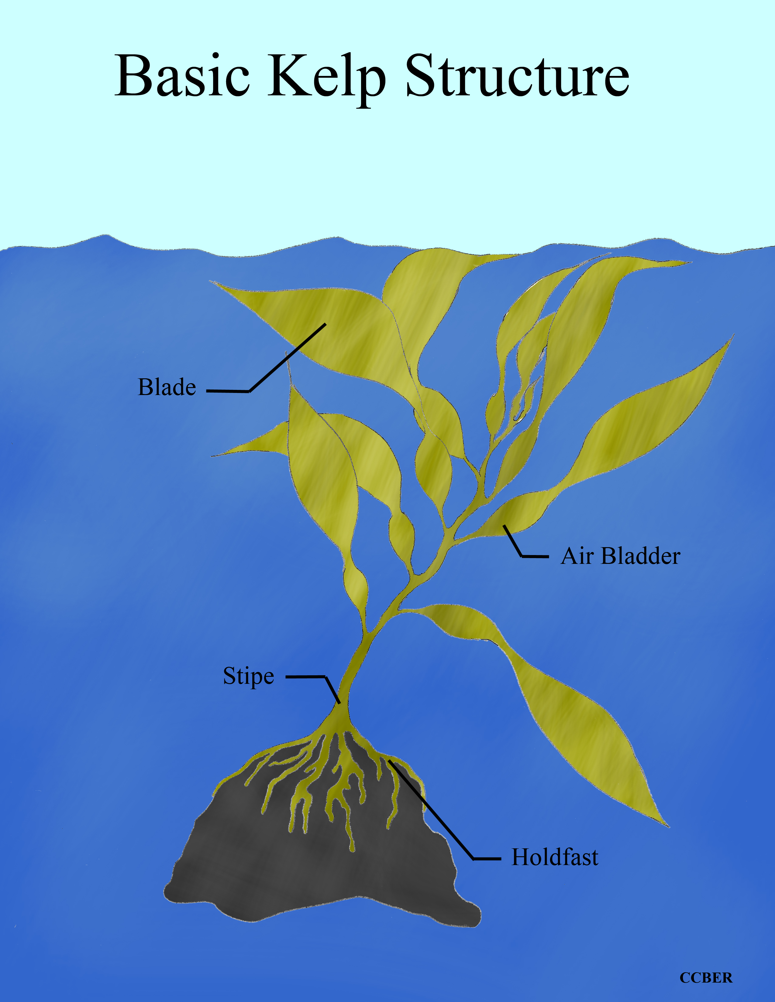 Ecology Of Seaweed And Its Environmental Significance