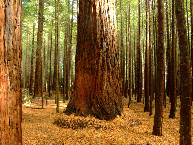 Giant Redwood among smaller trees