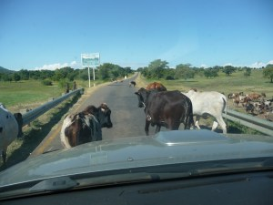 Cows on a highway