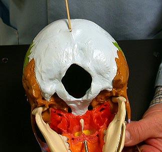 Skull External Occipital Protuberance