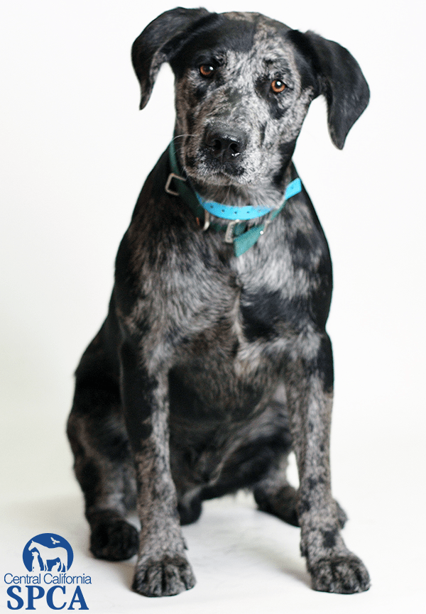 Rocky ID23152990 9 Month Old Male Blue Merle Catahoula Blend Central California SPCA