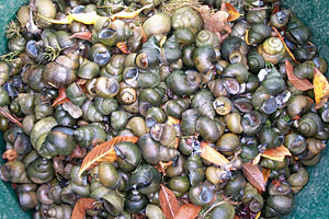 CHINESE MYSTERY SNAILS HAVE ARRIVED IN CORTLAND COUNTY