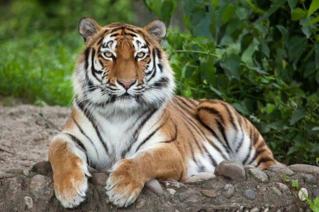 image of a tiger laying on the ground with trees in the background