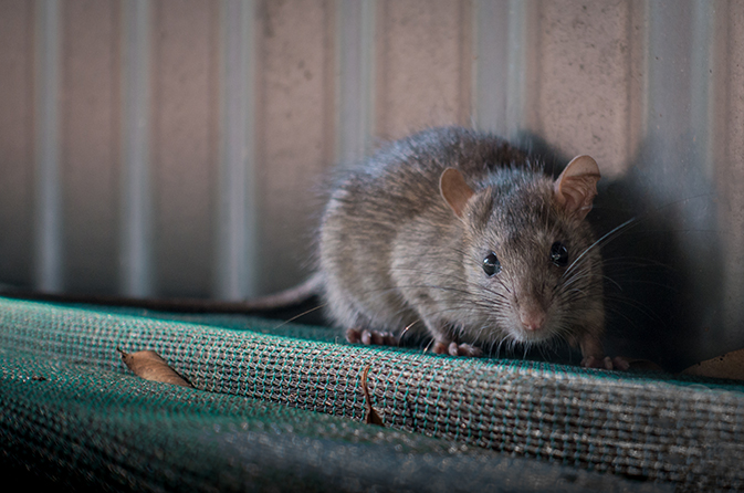 Containing an Outbreak Seoul Hantavirus in Wisconsin | CPR | CDC