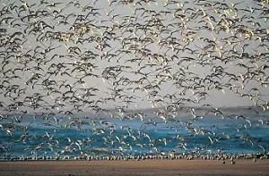 Las aves acuáticas salvajes, como las golondrinas de mar, son los huéspedes naturales de todos los tipos conocidos de virus de la influenza tipo A.
