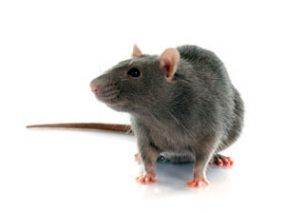 Preventing Seoul Virus Infection in Pet Rats and People ...