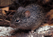 Rodents in the United States that Carry Hantavirus | Hantavirus ...