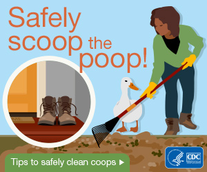 Safely scoop the poop. Tips to safely clean coops