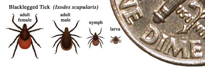 Lyme disease ticks (CDC image)