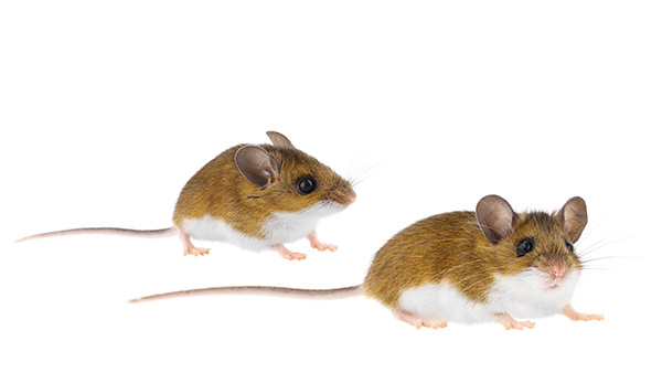Notes from the Field: Exported Case of Sin Nombre Hantavirus ...