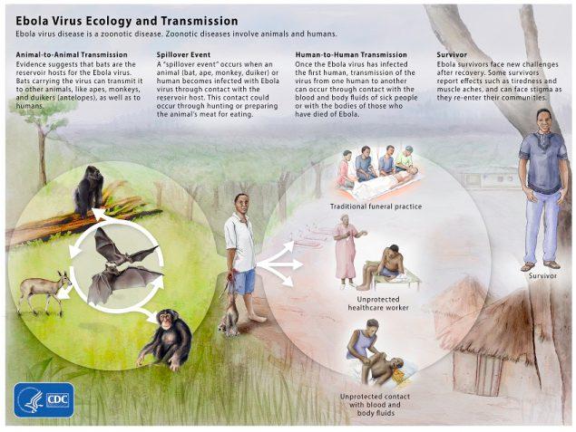 Ebola Reservoir Study | Stories & Features | NCEZID | CDC