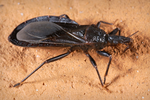 CDC  Chagas Disease  General Information  Vector