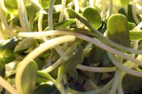 a bushel of alfalfa sprouts