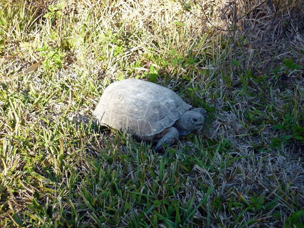 tortue floride