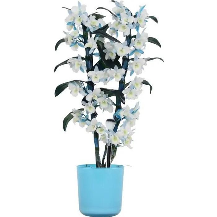 orchidee bambou fleur bleue plante d interieur