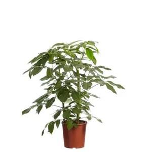 hauteur 100 cm arbre a doigts en pot