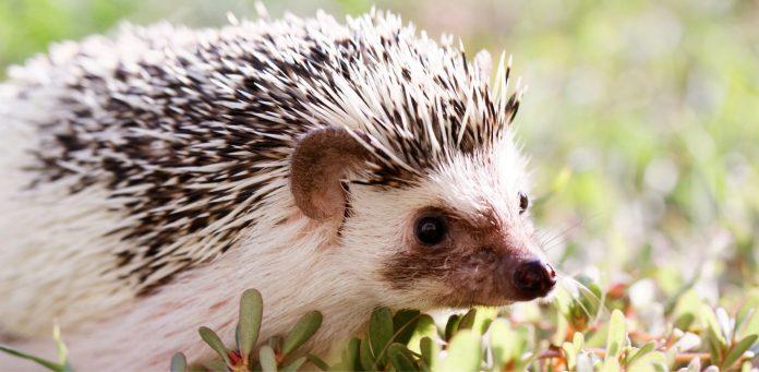 African-Hedgehog-1.jpg