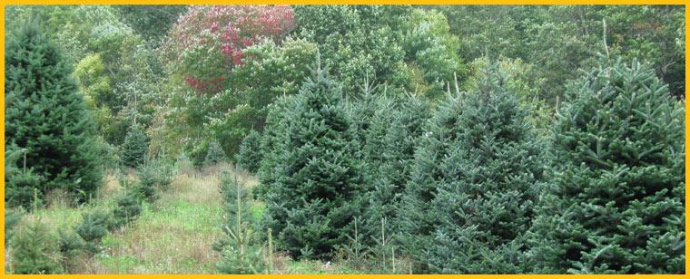 You Cut Christmas Trees Michigan