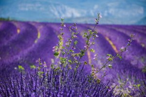 Field of lavender in Provence, France