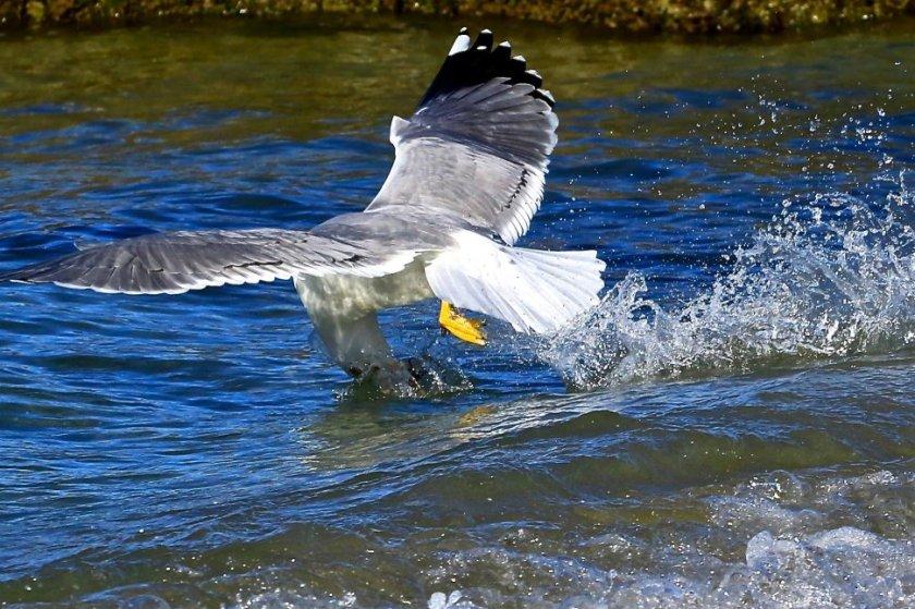 gabbiano pesca un pesciolino