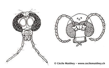 têtes d'insectes