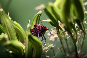 Insecte en macro photographie - gendarme