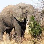 Afrika fil