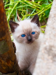 Head shot of a blue eyed Siamese cat on a green background