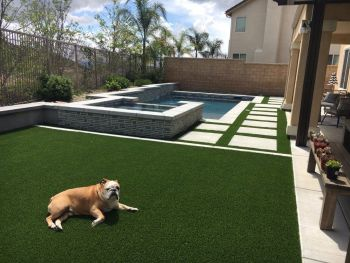 A bulldog enjoying the synthetic grass in a backyard of an Arizona residence