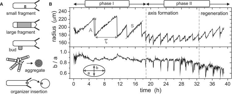 Mechanogenetic Coupling of Hydra Symmetry Breaking and