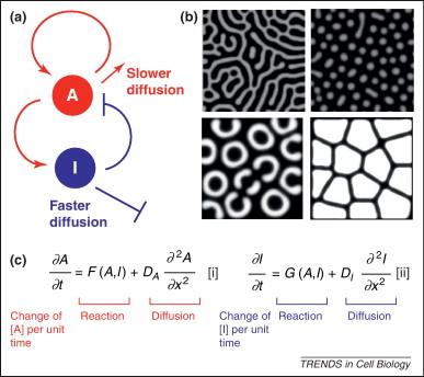 Two Dimensional Spatial Patterning In Developmental