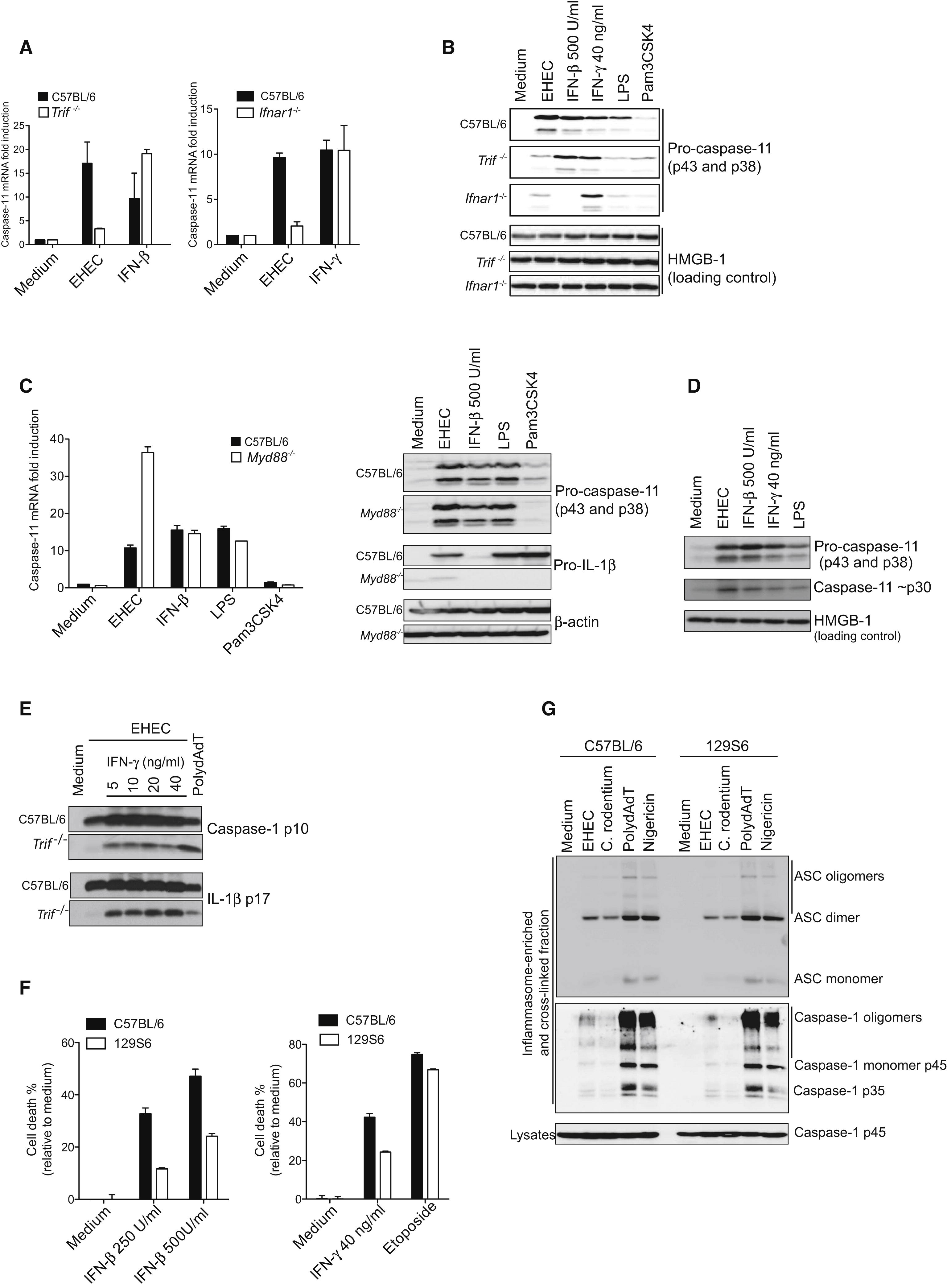 Trif Licenses Caspase 11 Dependent Nlrp3 Inflammasome Activation By Gram Negative Bacteria Cell