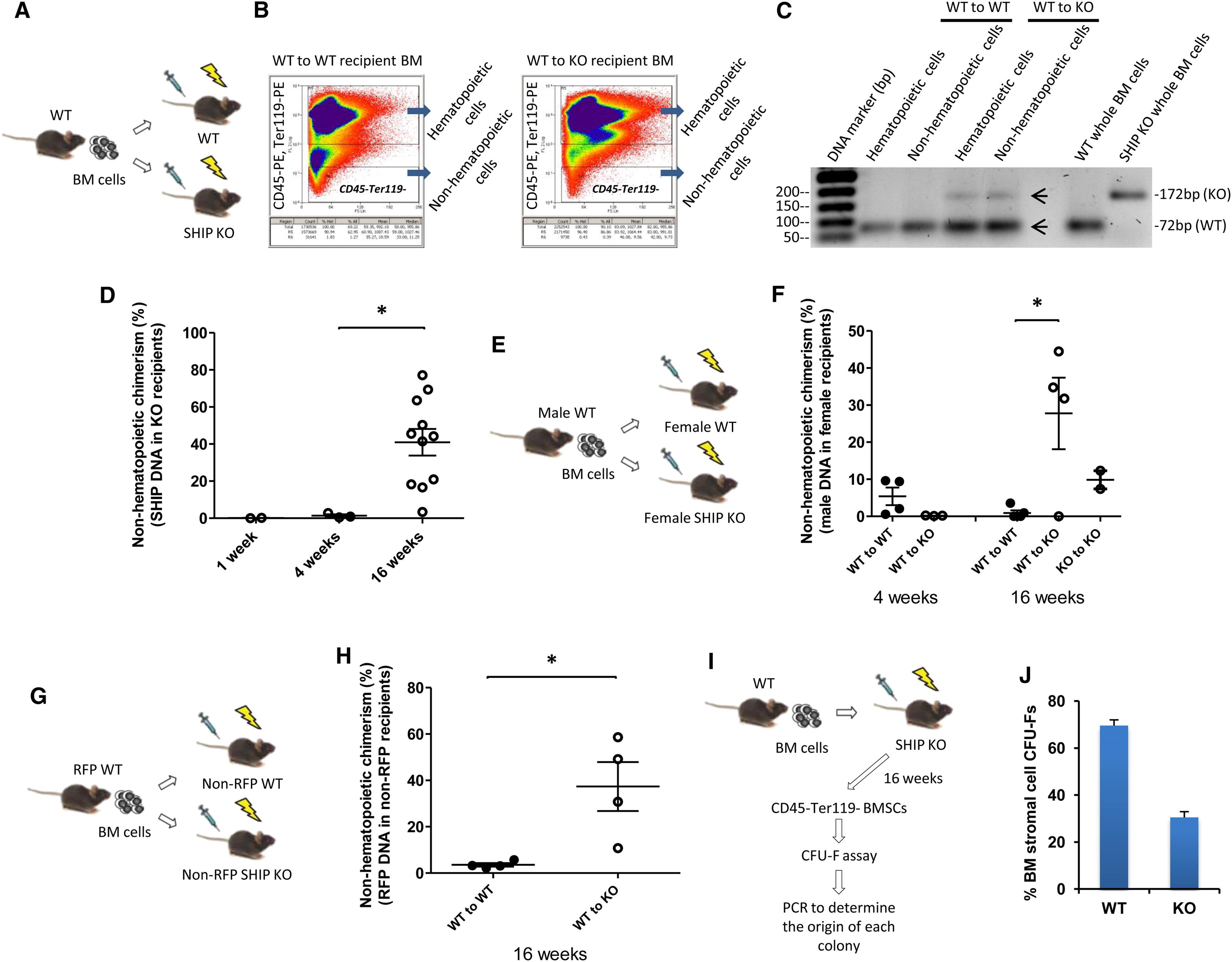 Deficiency of Lipid Phosphatase SHIP Enables Long-Term