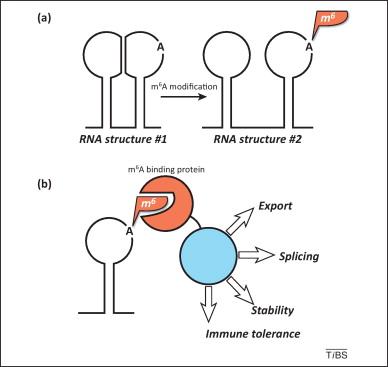 N6-methyl-adenosine modification in messenger and long non