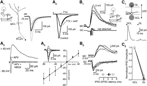 Cortical Feedback Control of Olfactory Bulb Circuits: Neuron
