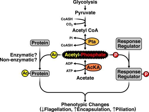 Acetylphosphate: A Novel Link between Lysine Acetylation