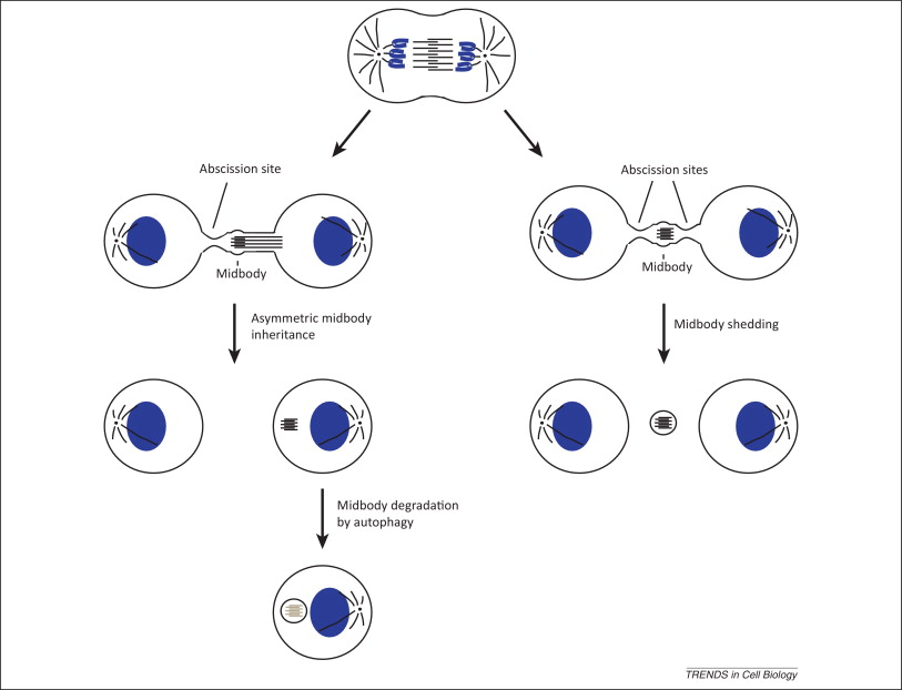 Endocytic transport and cytokinesis: from regulation of