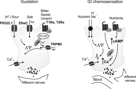 G-Protein-Coupled Receptors in Intestinal Chemosensation