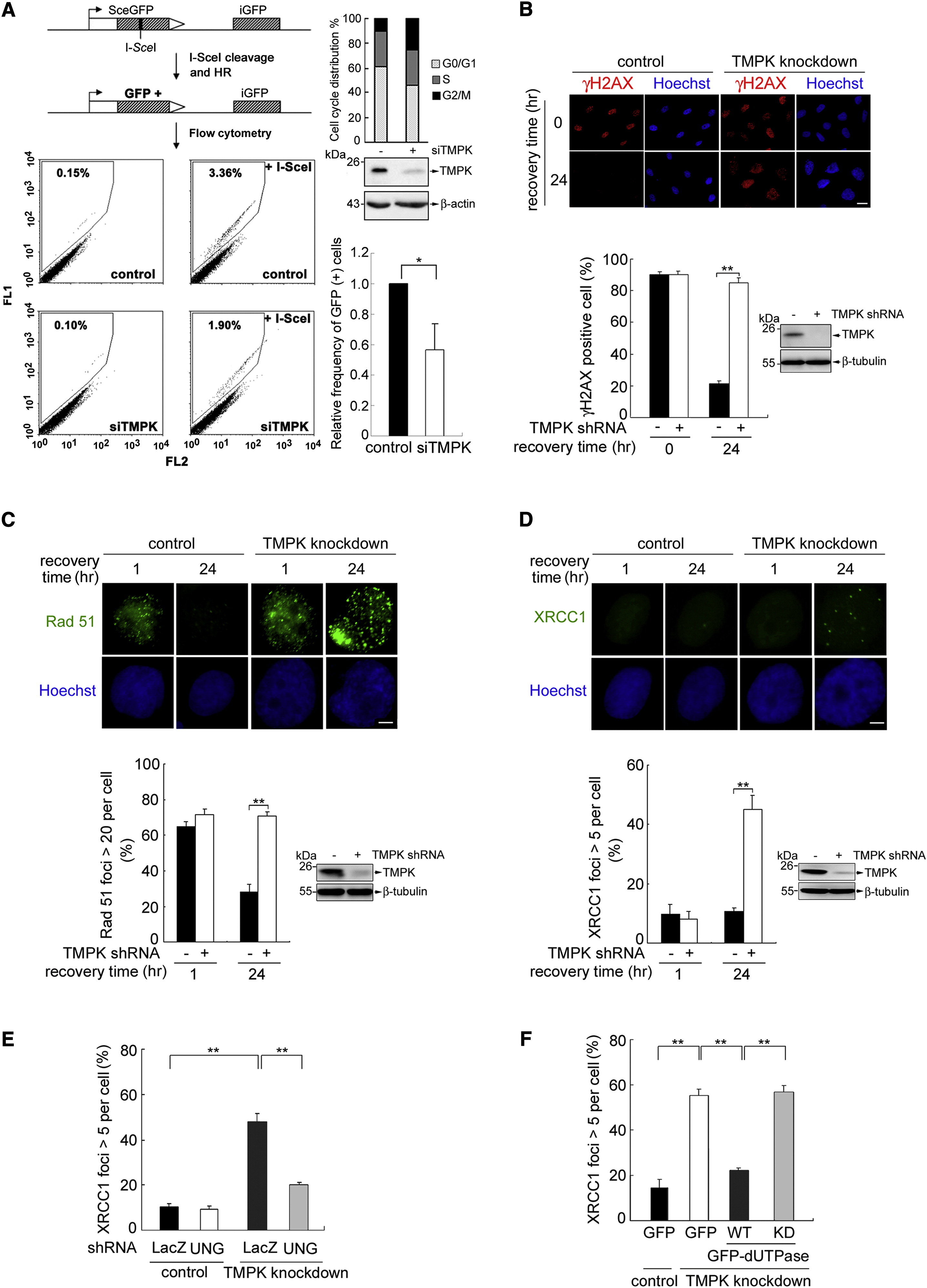 Tumor Cells Require Thymidylate Kinase to Prevent dUTP
