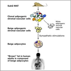 White Fat Cell Diagram Whitetail Deer Vital Organs Beige Adipocytes Are A Distinct Type Of Thermogenic