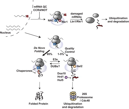 Principles of Cotranslational Ubiquitination and Quality